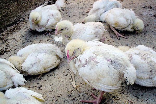 gydymas viščiukų medicinos handbook ligos sąnarių