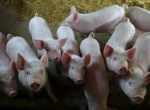 sieros liga kiaulių gydymas artrozės darbo lazar sąnarių