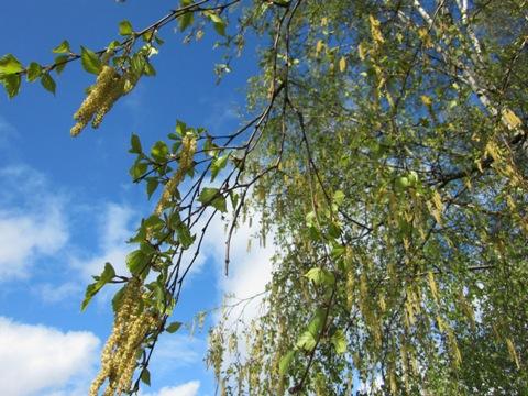 beržo lapų gydymas sąnarių