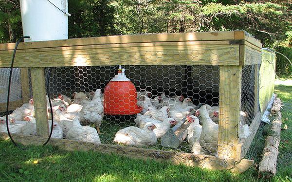 gydymas viščiukų gydymas fiksuoto sąnarių