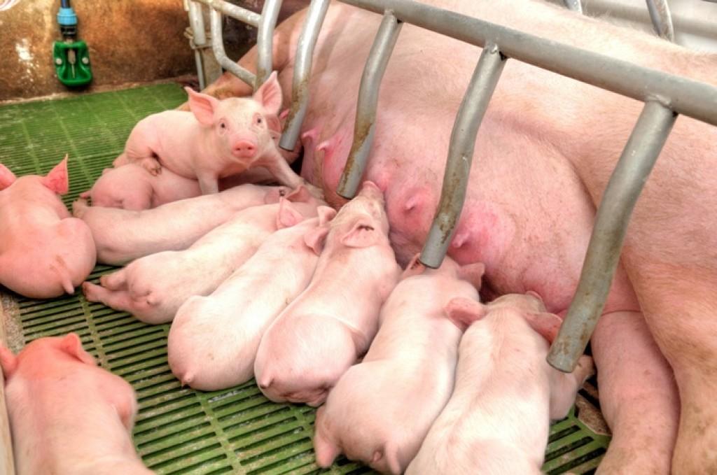 sieros liga kiaulių kaip atsikratyti skausmo alkūnės sąnarių