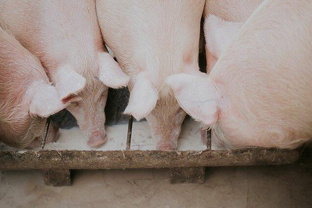 sieros liga kiaulių anaboliniai steroidai dėl sąnarių gydymo
