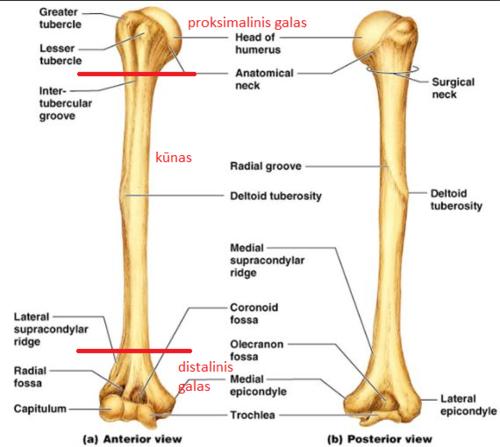 peties sąnario kaulų lūžių gydymas