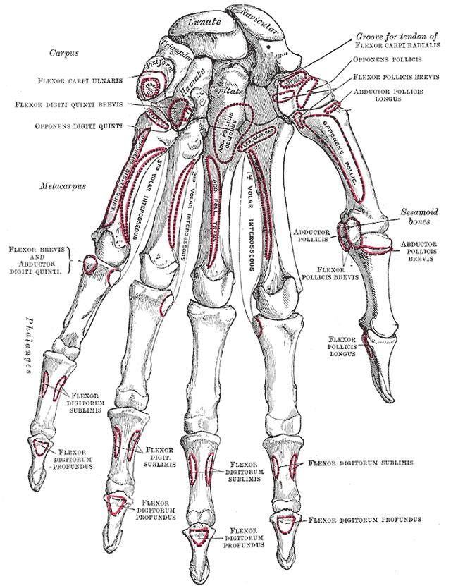 sąnarių nuo falangos riešo rankas ligos bendrą šepečio vertus