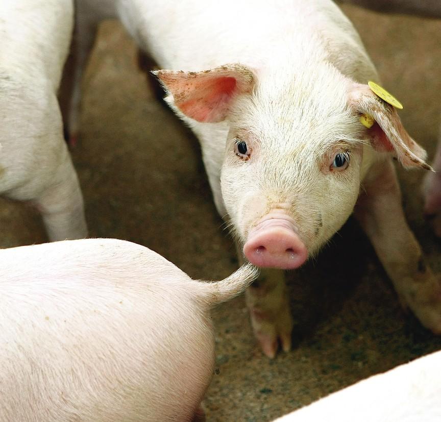 sieros liga kiaulių paviršiaus artritas pirštai