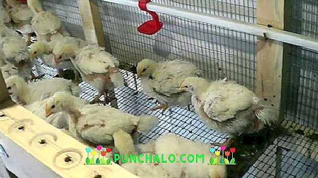 gydymas viščiukų stiprus skausmas sąnarių patinimas