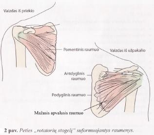 rotatorių manžetės raumenys