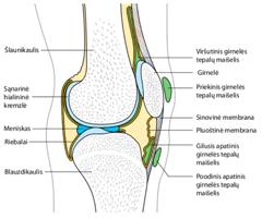 kaulų visa kaulų sąnariai